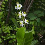 Arrowhead - Agittaria latifolia