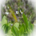Broadleaf-Arrowroot-Sagittaria-latifolia