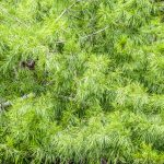 Bald Cypress Leaves