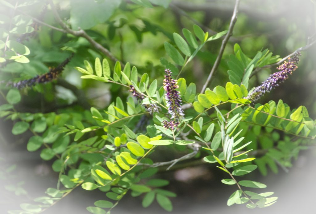 False-Indigo-Bush-Amorpha-fruticosa