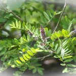 False-Indigo-Bush-Amorpha-fruticosa