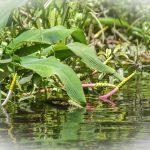 Golden-Club-Neverwet-Orontium-aquaticum