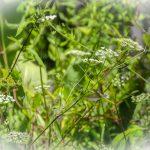 Mock-bishopsweed-Ptilimnium-capillaceum