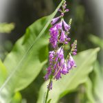 Obedient-Plant-False-Dragonhead-Physostegia-virginiana