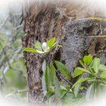 Swamp Bay - Persea palustris