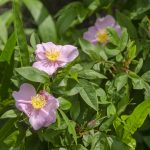 Swamp Rose - Rosa palustris