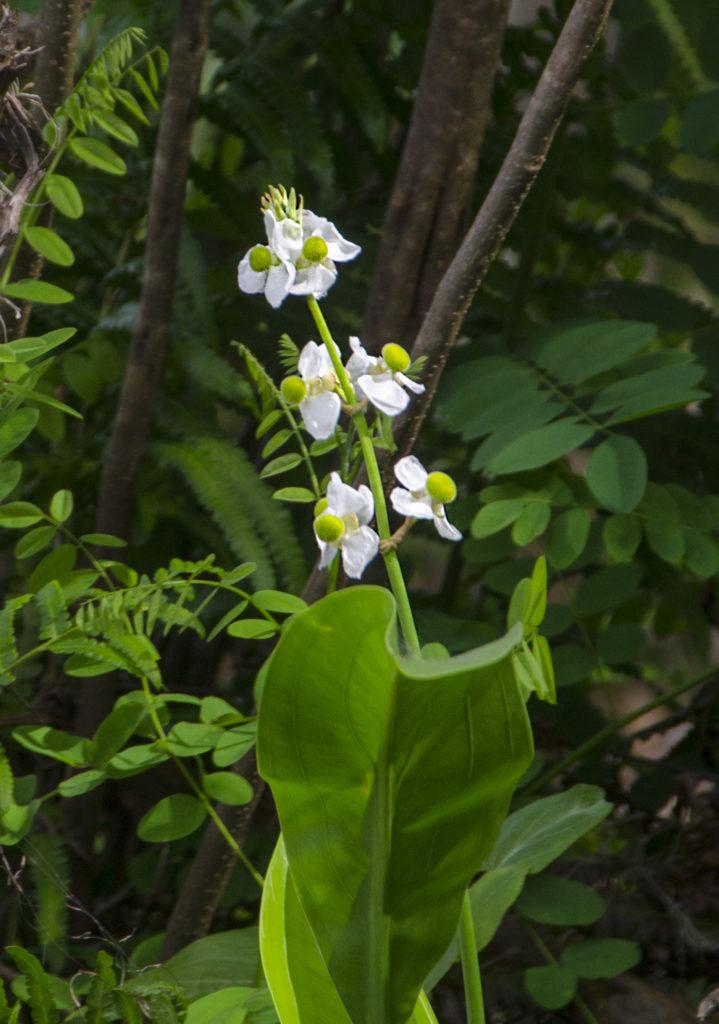 Broadleaf Arrowhead - Sagittaria latifolia