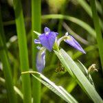 Blue Flag Iris - Iris viginica