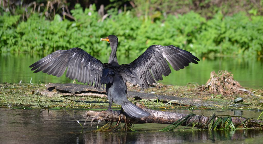 Cormerant - Phalacrocorax
