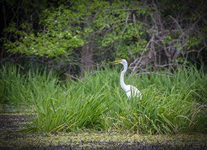 White Egret – Ardea alba