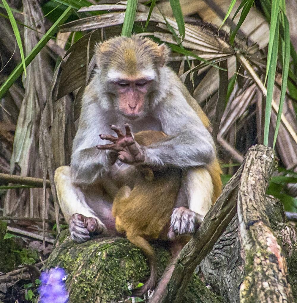 Rhesus Monkey Counts