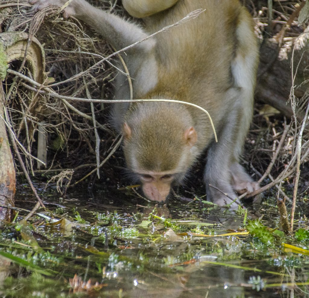 Monkey Drinks from River