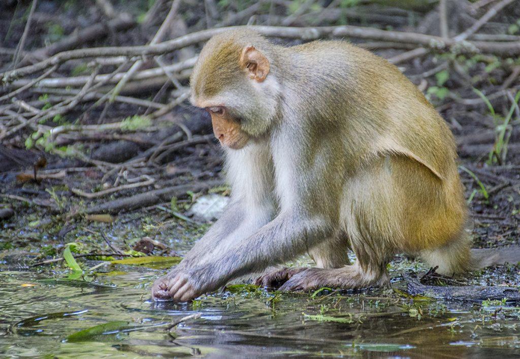Monkey on Shoreline