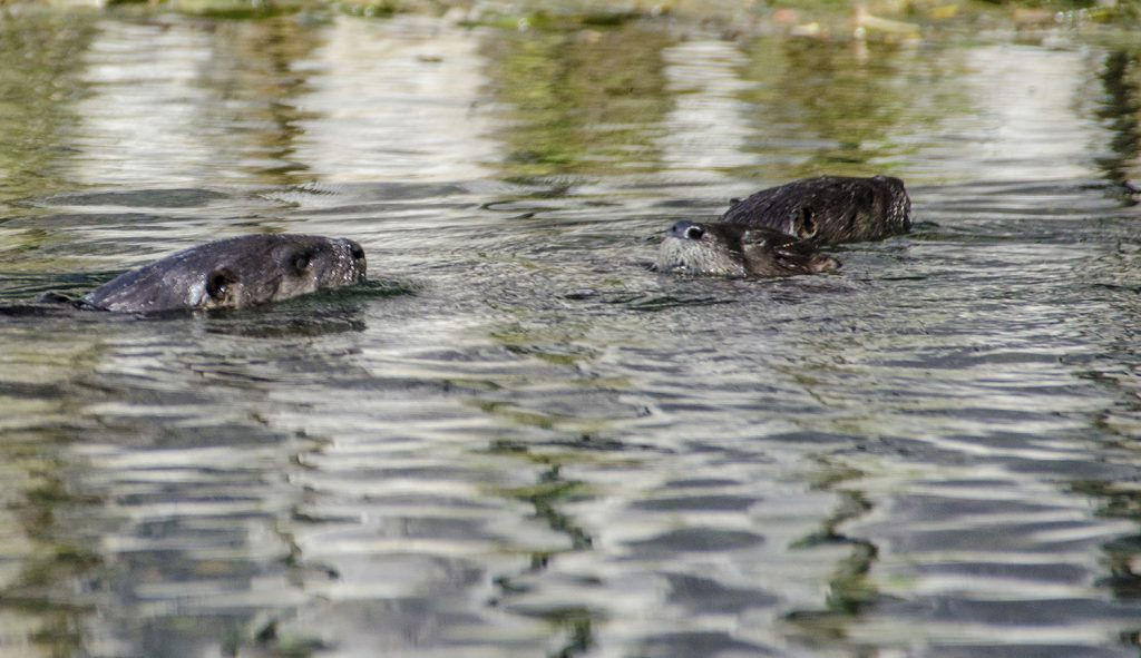 North American River Otter - Lontra canadensis
