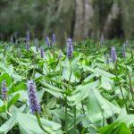 Pickerel Weed - Pontederia cordata