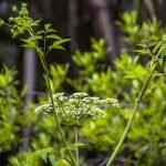 Water Hemlock - Cicuta maculata