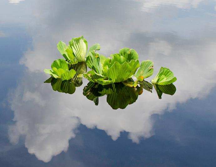 Water Lettuce - Pistia stratiotes