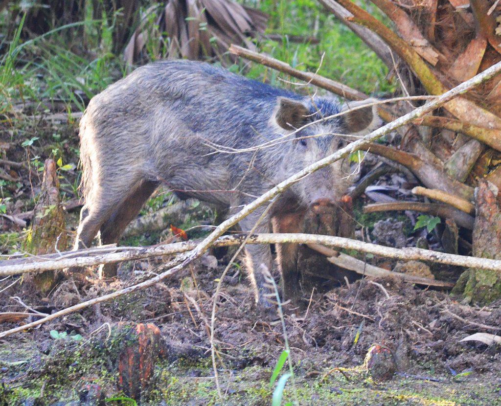 Wild Pig - Sus scrofa
