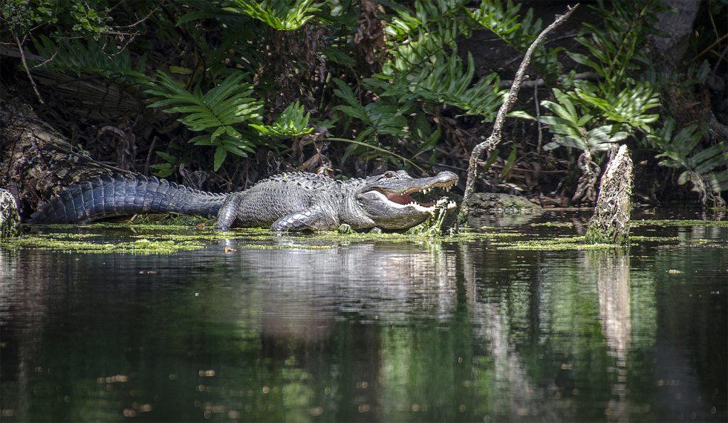 American Alligator on Baird Creek