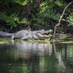 American Alligator on Baird Creek