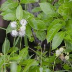 Buttonbush-Cephalanthus occidentalis