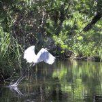 Egret takes Flight on Baird Creek