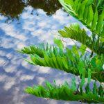 Giant Leather Fern - Acrostichum danaeifolium