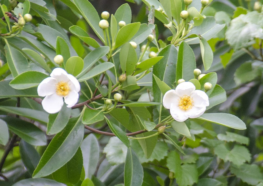Loblolly Bay - Gordonia lasianthus