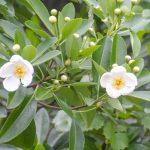 Loblolly Bay - Gordonia lasianthus