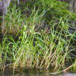 Maiden Cane - Panicum hemitomon