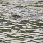 Otter - Lontra canandensis