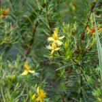 Sandweed - Hypericum fasciculatum