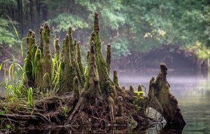 Santa Fe Cypress Knees