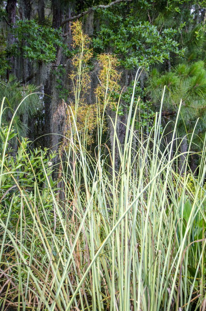 Sawgrass – Cladium jamaicense