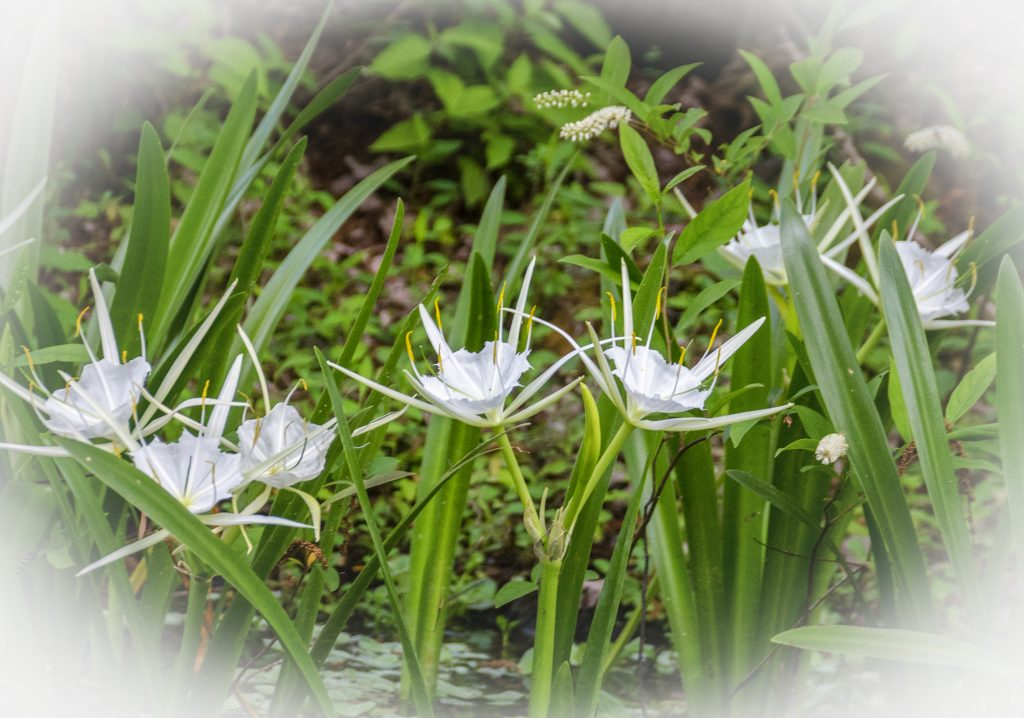Spider Lily - Hymenocallis latifolia