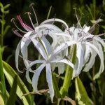 Swamp Lily - Crinum pedunculatum