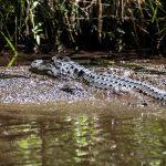 Alligator - Mud Spa
