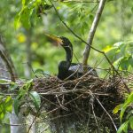 Anhinga in Nest - Silver River