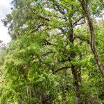 Bald Cypress - Ocklawaha River