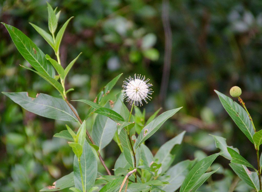 Buttonbush - Cephalanthus occidentalis