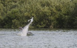 Dolphin flips Fish in air