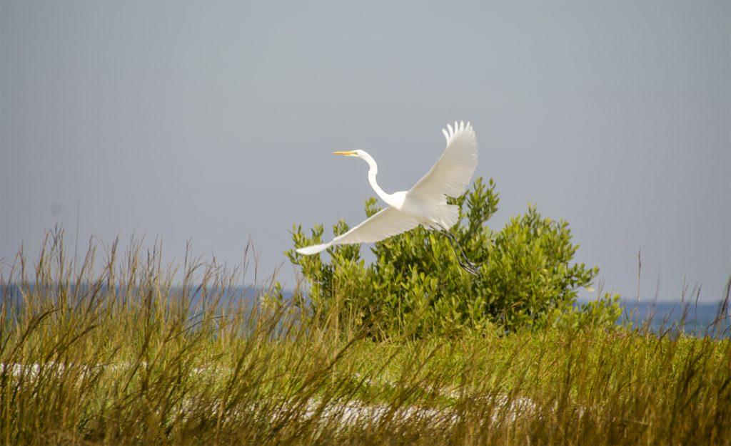 Egret flies over Atsena Otie