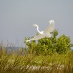 Egret flies over Atsena Otie