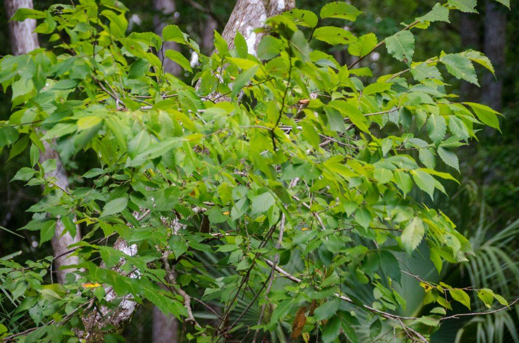FLorida Elm - Ulmus americana var. floridana