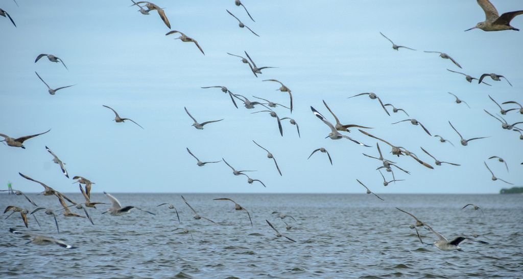 Gulls of Atsena Otie