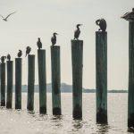 Pelicans & Pilings