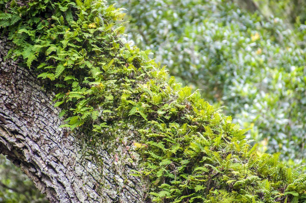 Resurection Fern - Pleopeltis polypodioides