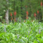 Water Hemlock, Pickerel Weed and Cardinal Flowers