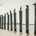Sea Birds - Atsena Otie