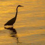 Sunset Heron - Atsena Otie